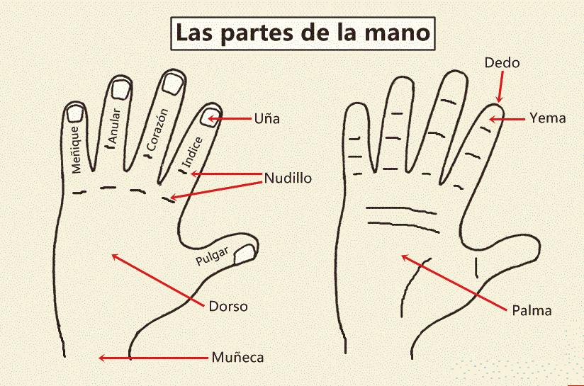 HOLA SPANIOLA: Partile mainii / Las partes de la mano