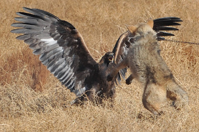A golden eagle attacks a chained wolf, during the hunting festival Salburun in the village of Bokonbayevo some 300 km outside Kyrgyzstan's capital Bishkek on November 9, 2013