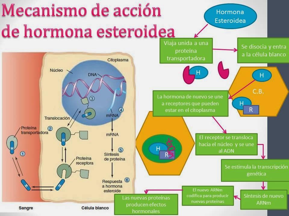 hormonas no esteroideas mecanismo de accion