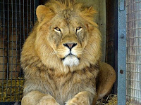 Sajikan Daging Singa, Restoran Ini Mendapat Kritikan
