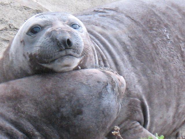 Baby Elephant Seals | Funny Animals