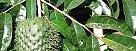 Las hojas de la guanábana son excelentes cuando la persona padece de insomnio y nerviosismo.