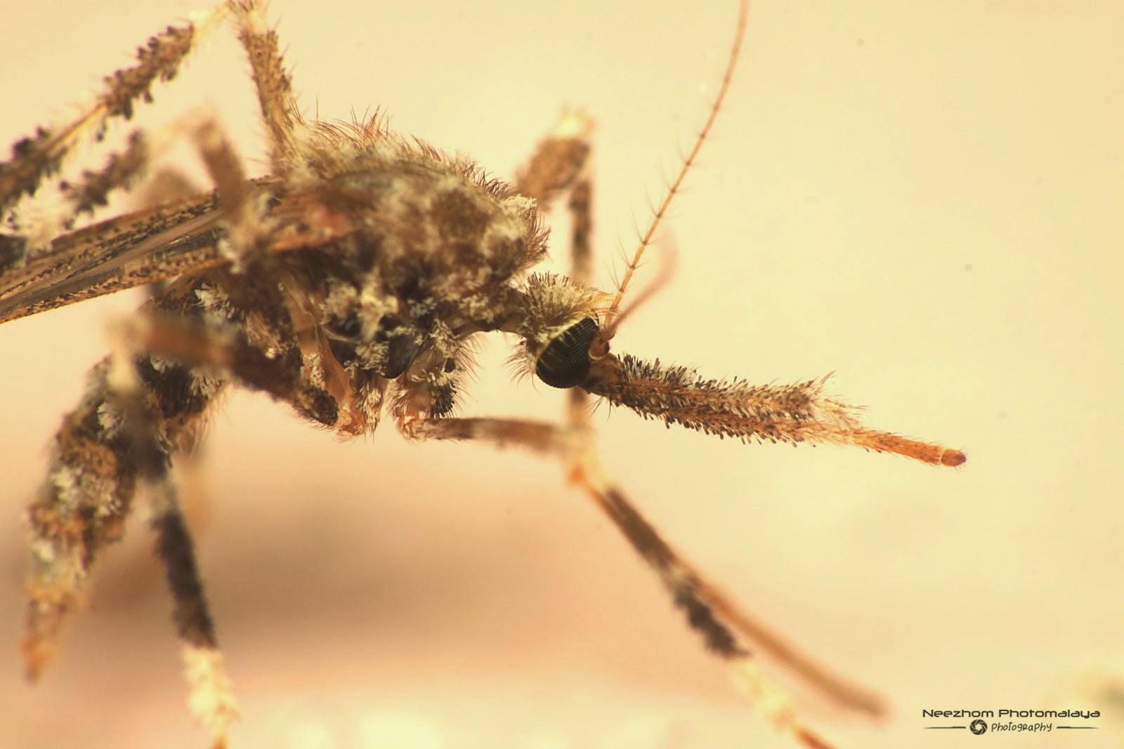 Bush mosquito species