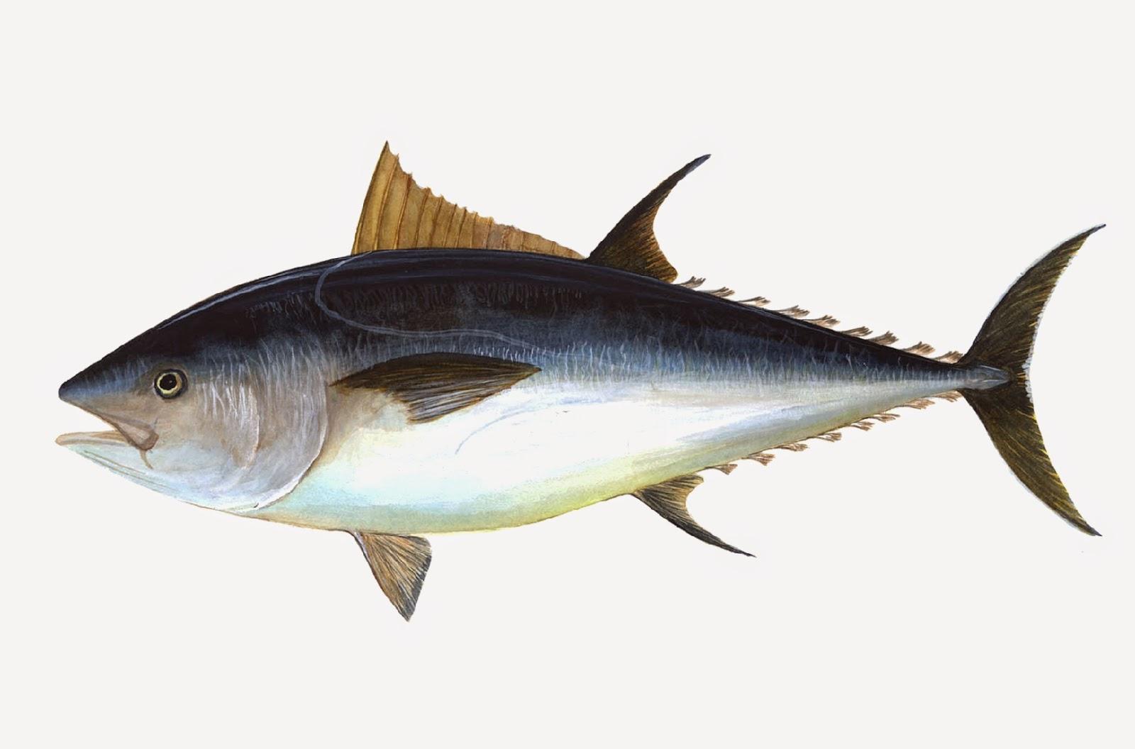 Asal Usul Ikan Tuna