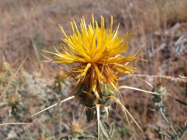 ABREPUÑOS: Centaurea ornata