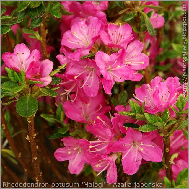 Rhododendron obtusum 'Maiogi' - Azalia japońska 'Maiogi' kwiaty