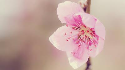 hình hoa đào tết đẹp nhất 2014, hinh hoa dao tet dep nhat 2014
