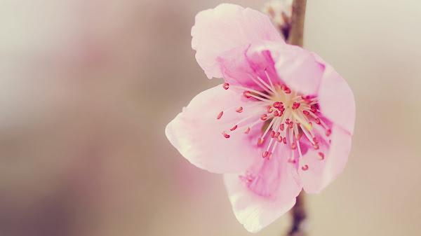 http://4.bp.blogspot.com/-CamyYv8DRkM/UtNUSeTlBuI/AAAAAAAAEGM/N5K_yRpTjXk/s1600/Hoa+Dao+tet+1.jpg