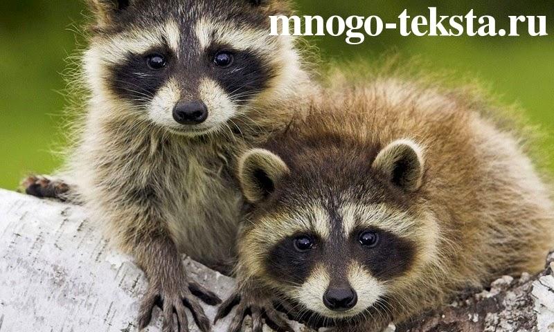 Эти удивительные животные еноты, уникальные способности енотов, енот