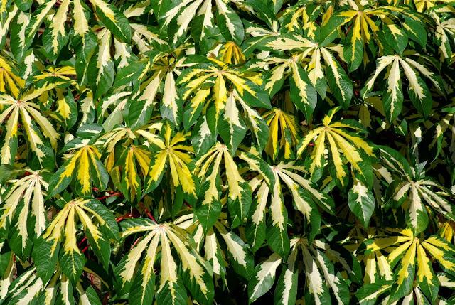 Manihot esculenta 'Variegata' - Variegated Cassava - Variegated Tapioca
