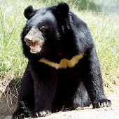 หมีดำ