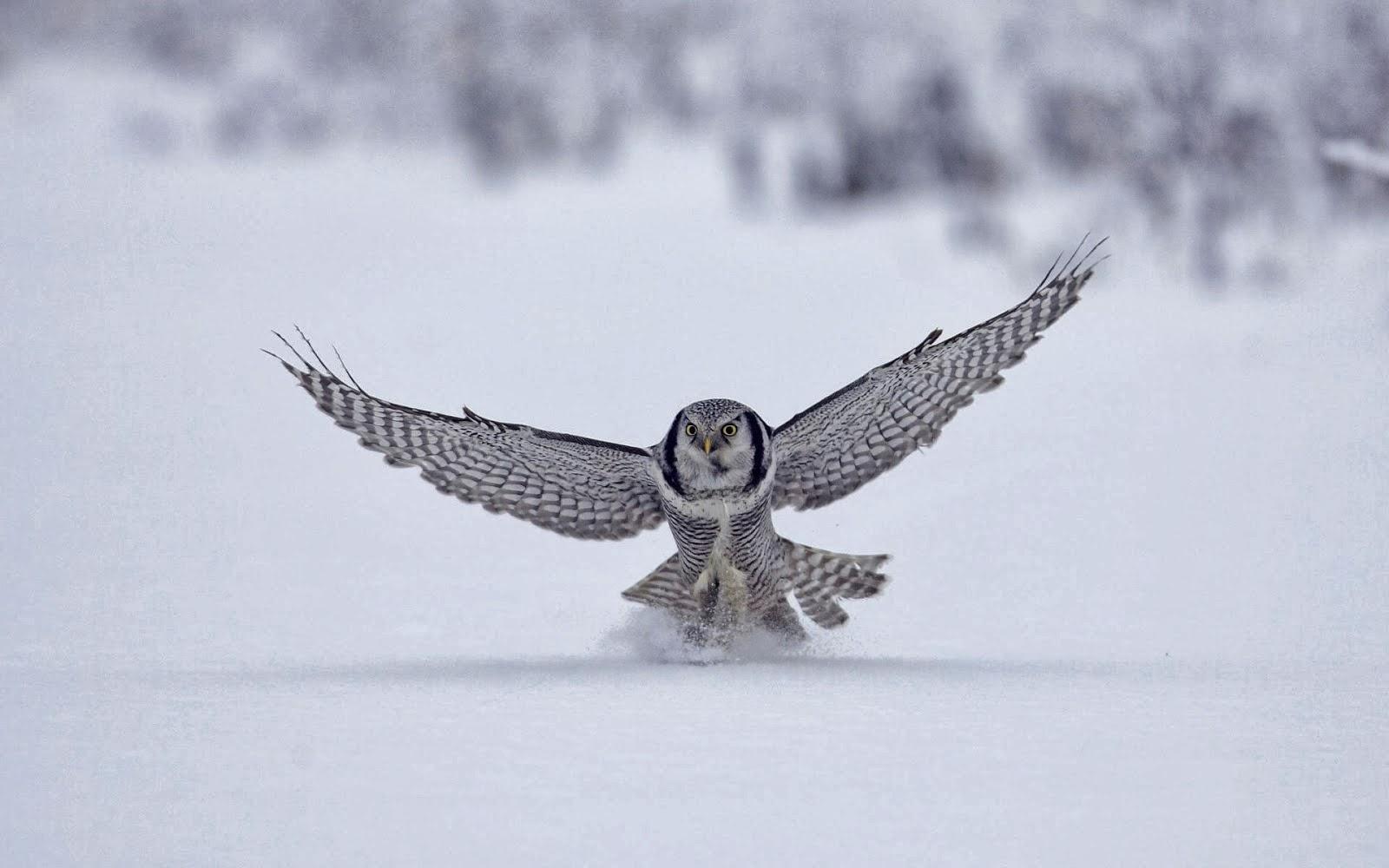 hd wallpaper download 1080p eagle hd wallpaper download 1080p owl hd