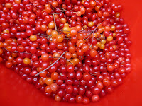 A bucket of highbush cranberries picked from the Edmonton river valley