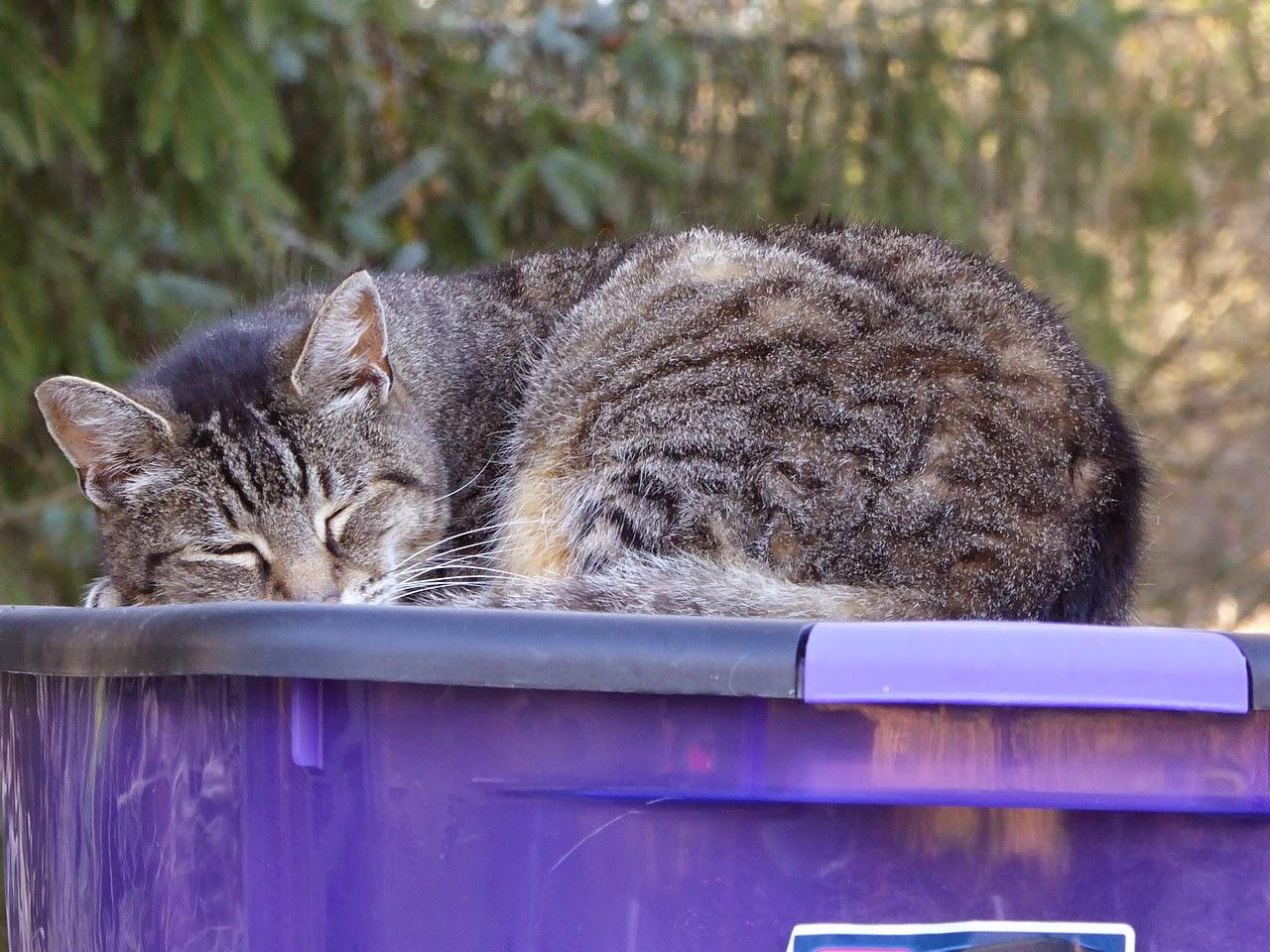 Gizmo the tabby cat sleeps