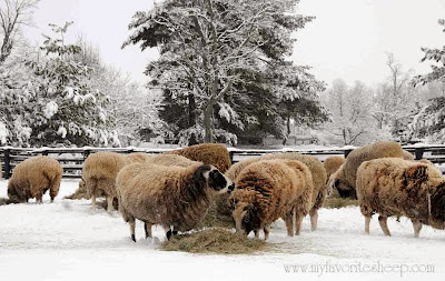 Jacob sheep in a snow covered field eating hay