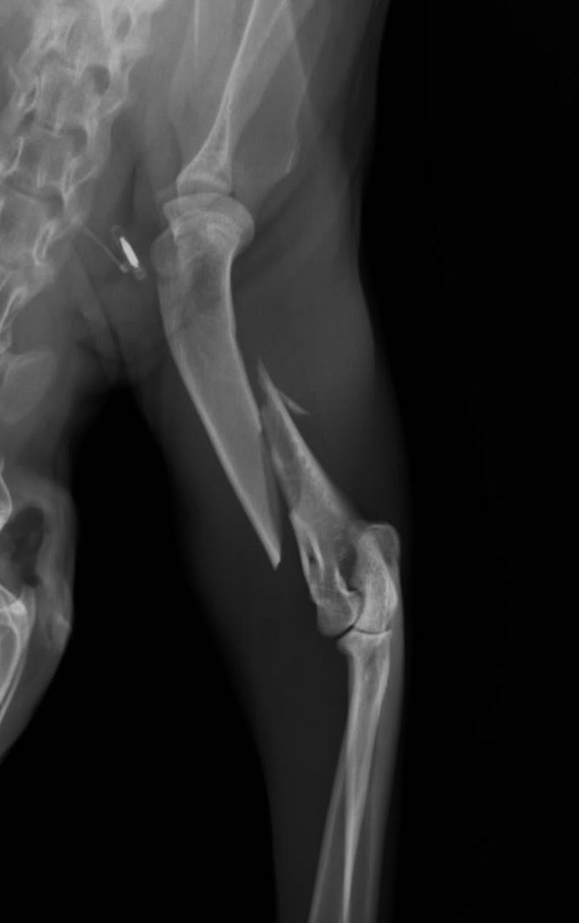 fractura humeral  en felino