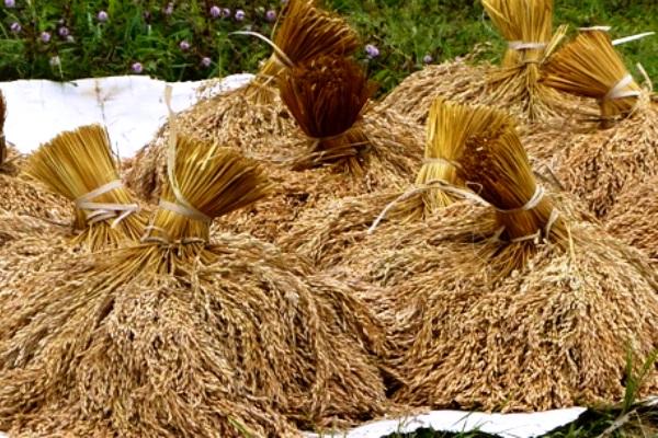 Gabah Padi. Kotabumi Lampung Utara