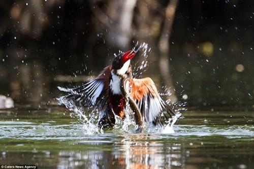 Chú chim bói cá chiến đấu ngoan cường với con rắn hung dữ
