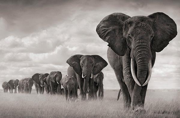 Hình ảnh đẹp về đàn voi