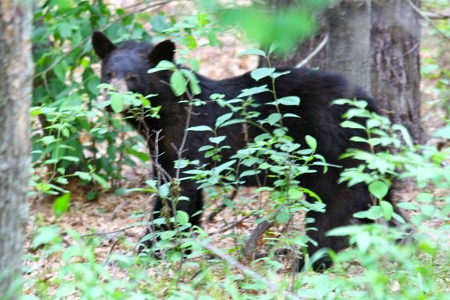 one of the neighbors (young black bear)