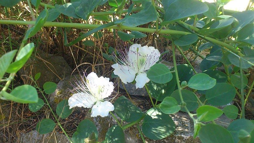 Taperera (Capparis spinosa subsp. canescens)