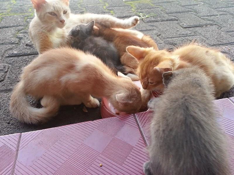 jual anak kucing kampung