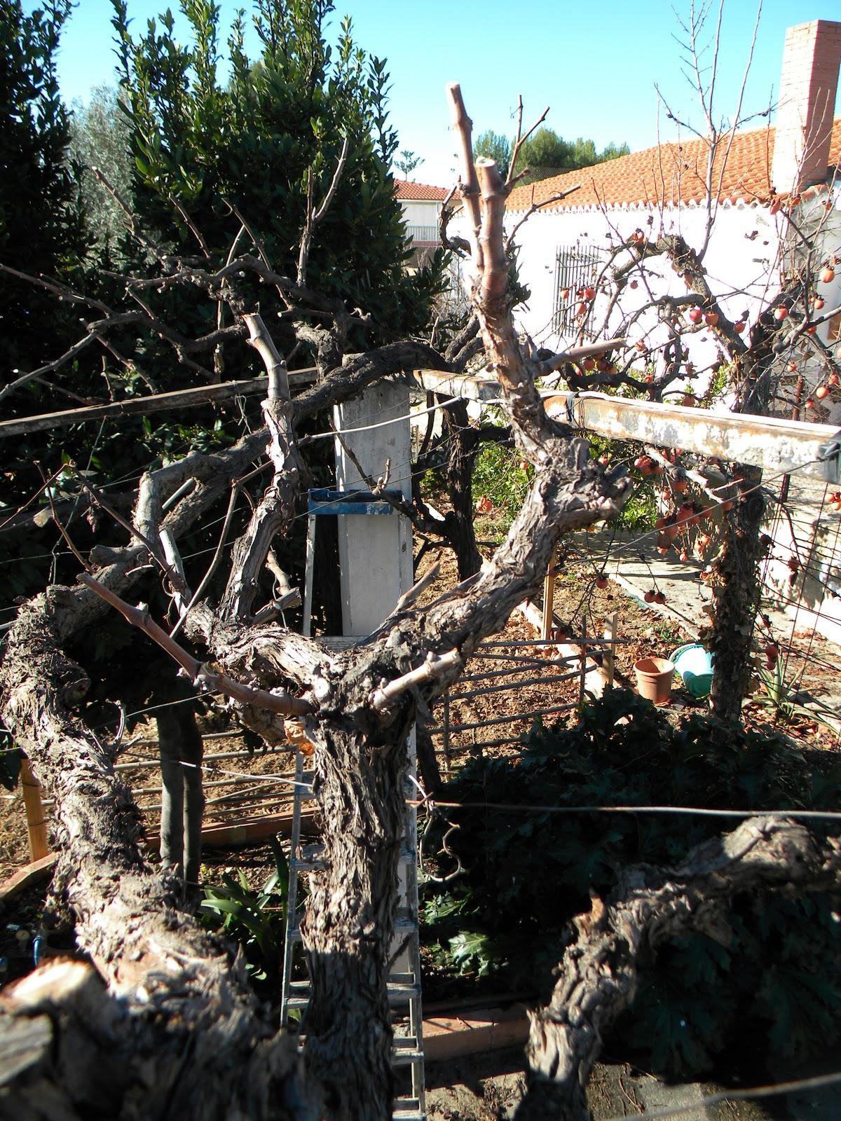 El huerto de tatay poda parra de uva blanca - Poda de hortensias epoca ...