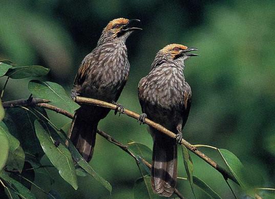 Suara Burung Cucak Rowo Mp3