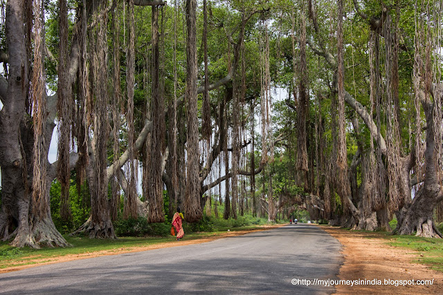 Roots of Banyan tree on the way to Bandipur