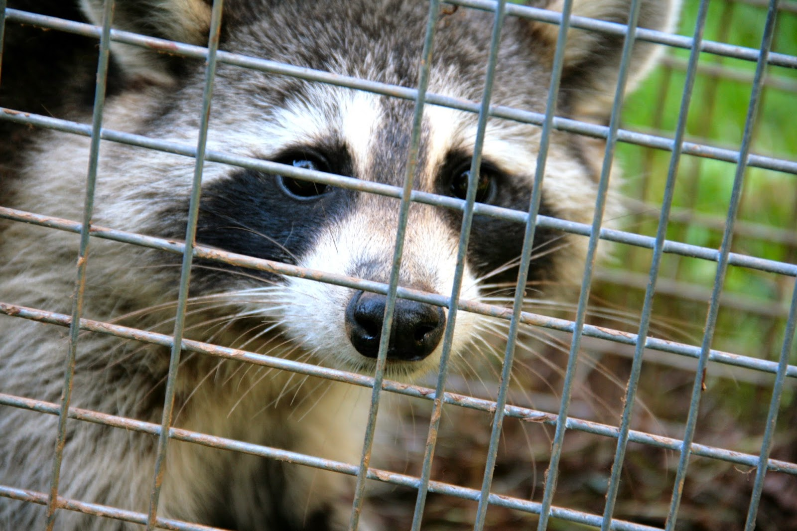 raccoon havahart trap