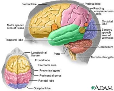 General psychology the human brain the human brain ccuart Gallery
