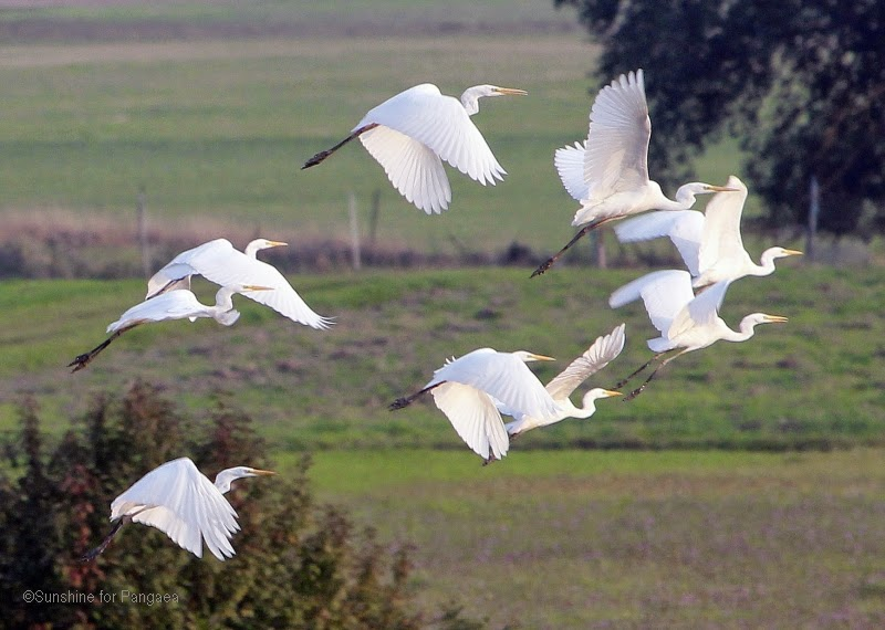 Flock of Great Egrets