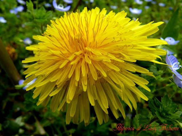 hiperica_lady_boheme_blog_di_cucina_ricette_gustose_facili_veloci_fiore_giallo