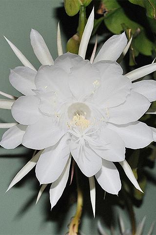 Orquídea cactus - Solo Nuevas
