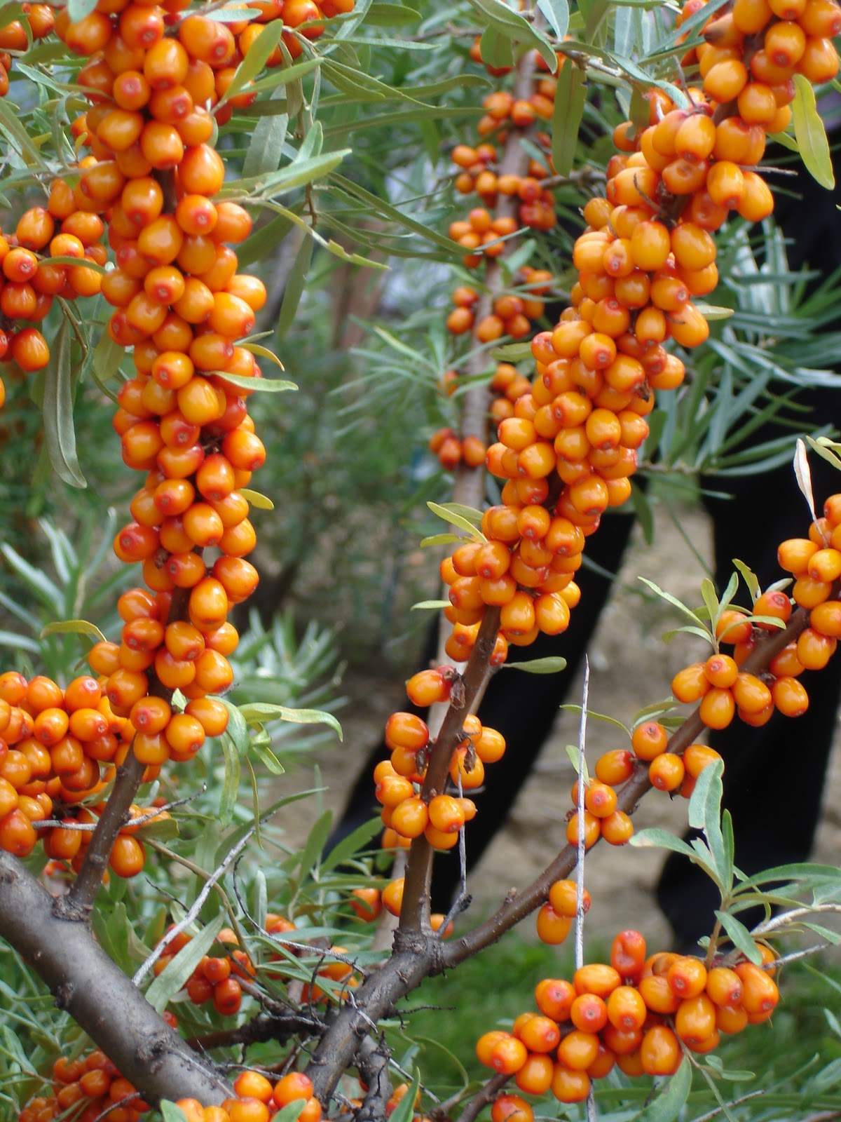 Wanderlust and words sea buckthorn superfruit from northern vigor berries - Growing sea buckthorn ...