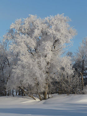 A Frost Covered Tree