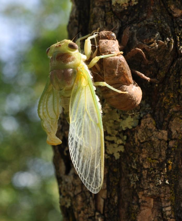 Cicadidae
