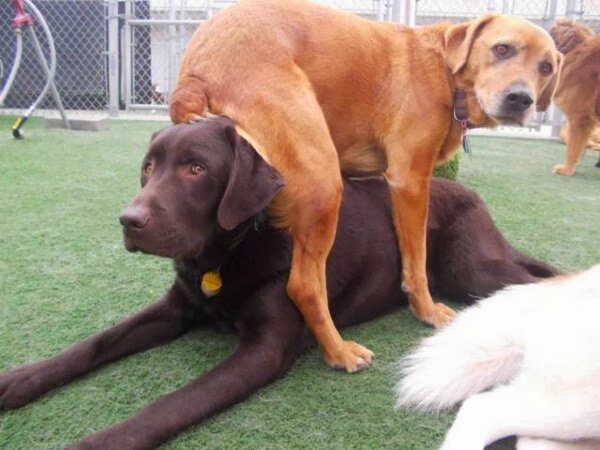 Cute dogs (50 pics), dog pictures, dog sits on dog's head