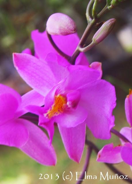 Foto de Bletia catenulata
