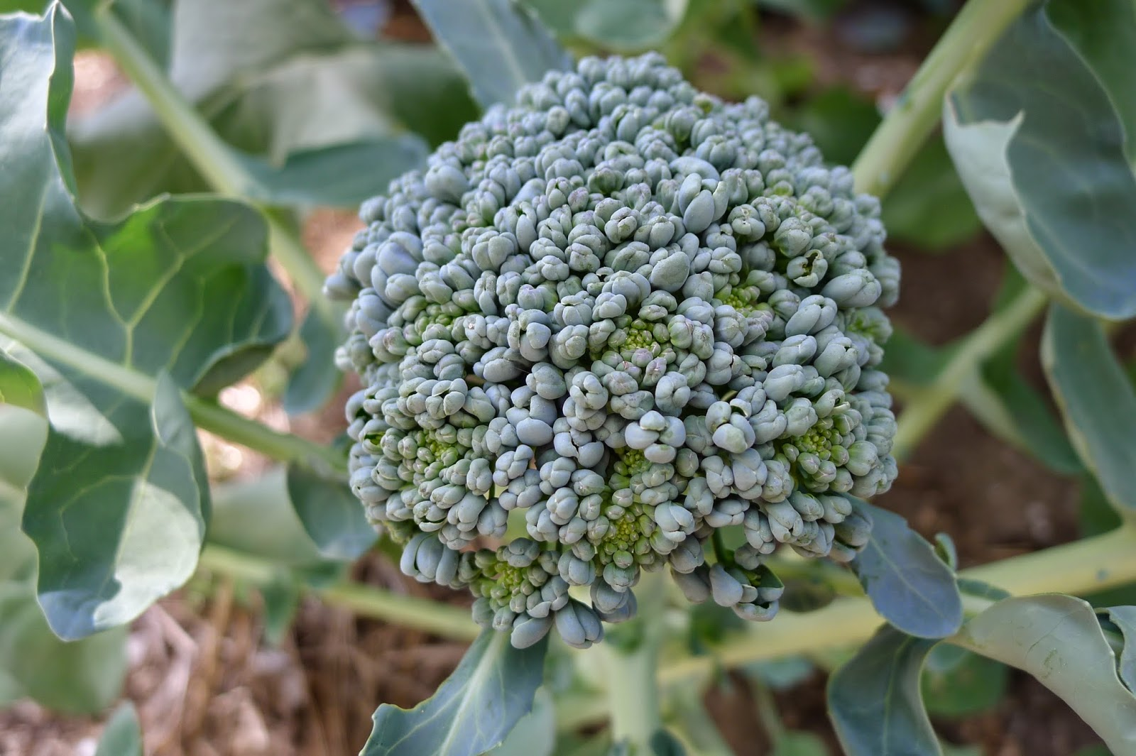 Broccoli crown, urban farming