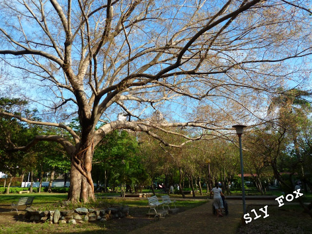 台南青年公園菩提樹