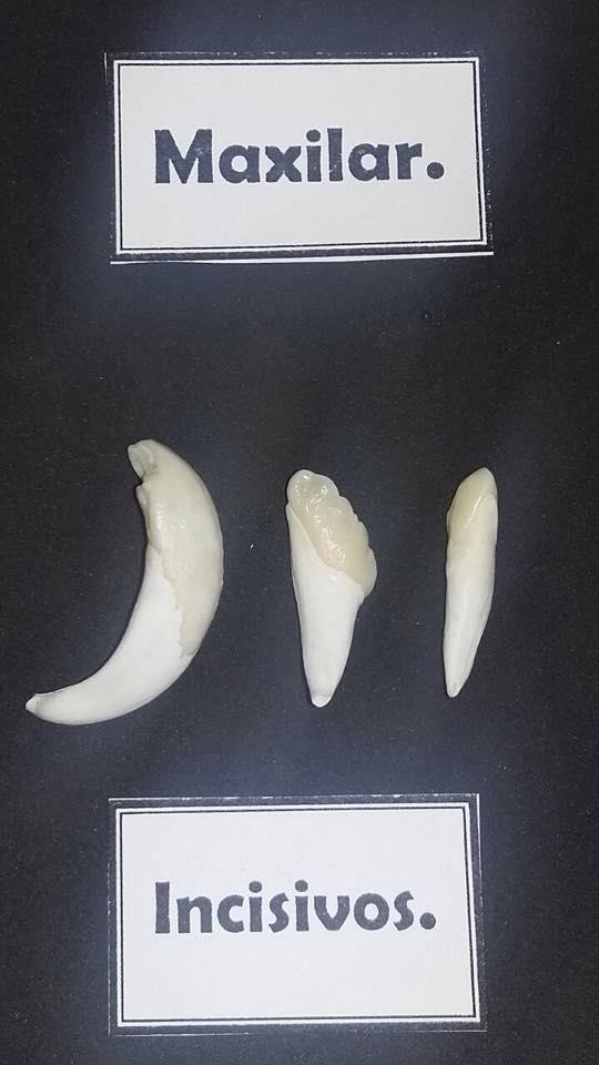 Dentadura ESPECIE : Porcina | Anatomía :Grupo 7 . Facultad de ...