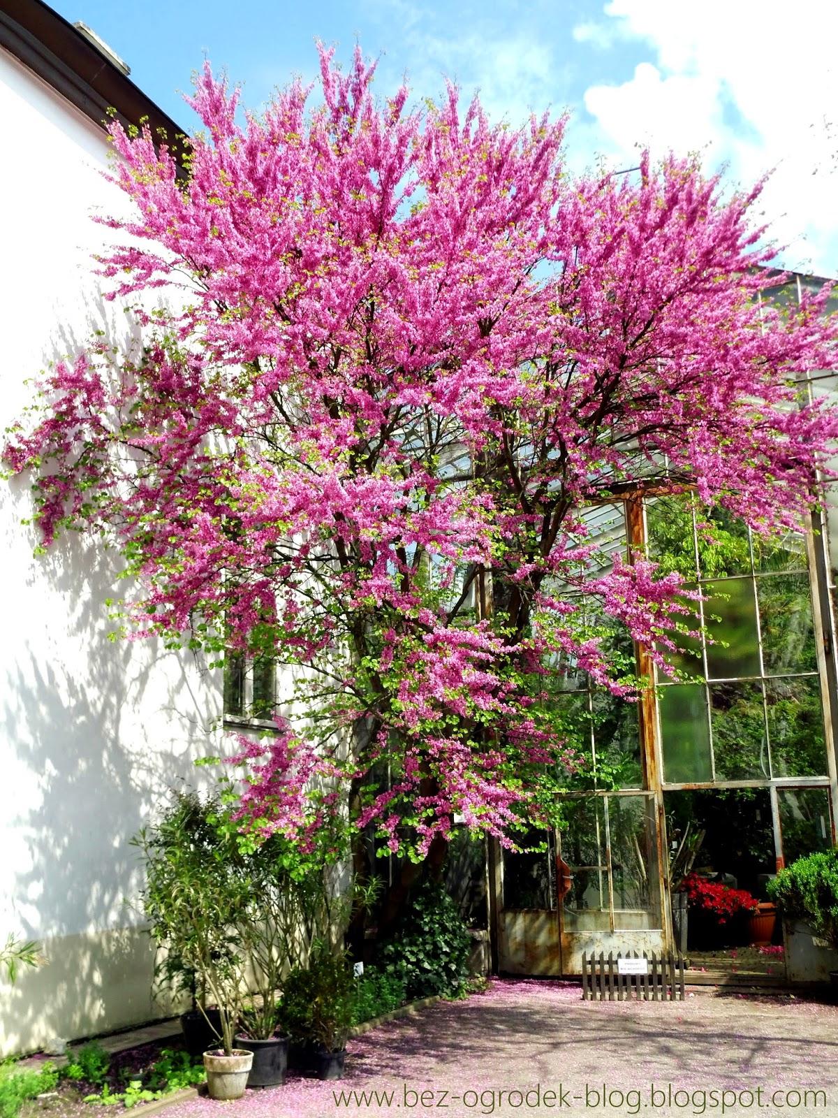 judas tree flowers
