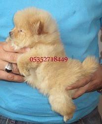 Boo Dog Pomeranian Boo Yavruları