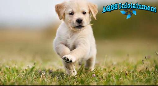 Mungkin karena imut dan lucu, anak anjing digunakan oleh seorang dokter hewan di Spanyol untuk menyelundupkan heroin. Beruntung polisi berhasil mengungkapnya.