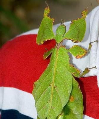 هل هذه حشرة أم ورقة ؟؟ افتح الصورة :)