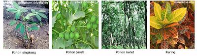 Klasifikasi Tumbuhan Dikotil
