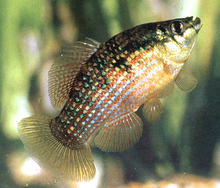 Fish Index: American Flagfish (Jordanella floridae)