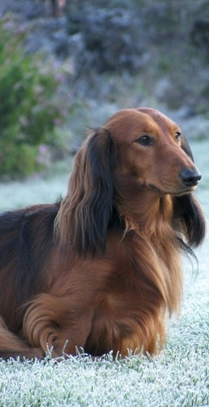 Size,Weight and Types of Dachshund