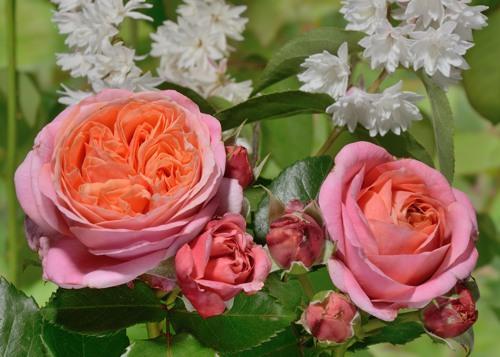 Mary Ann rose сорт розы фото